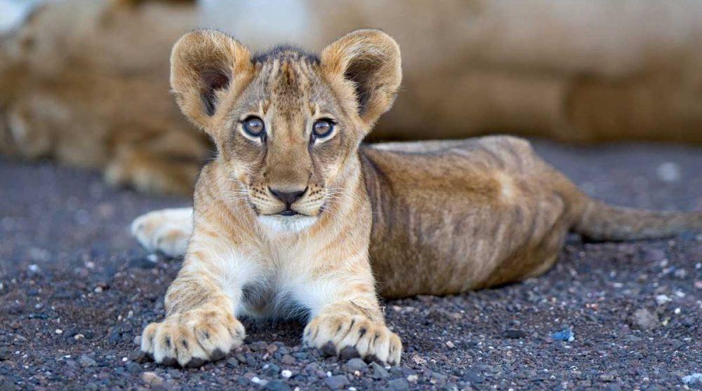 Un bébé lion près d'une rivière assechée