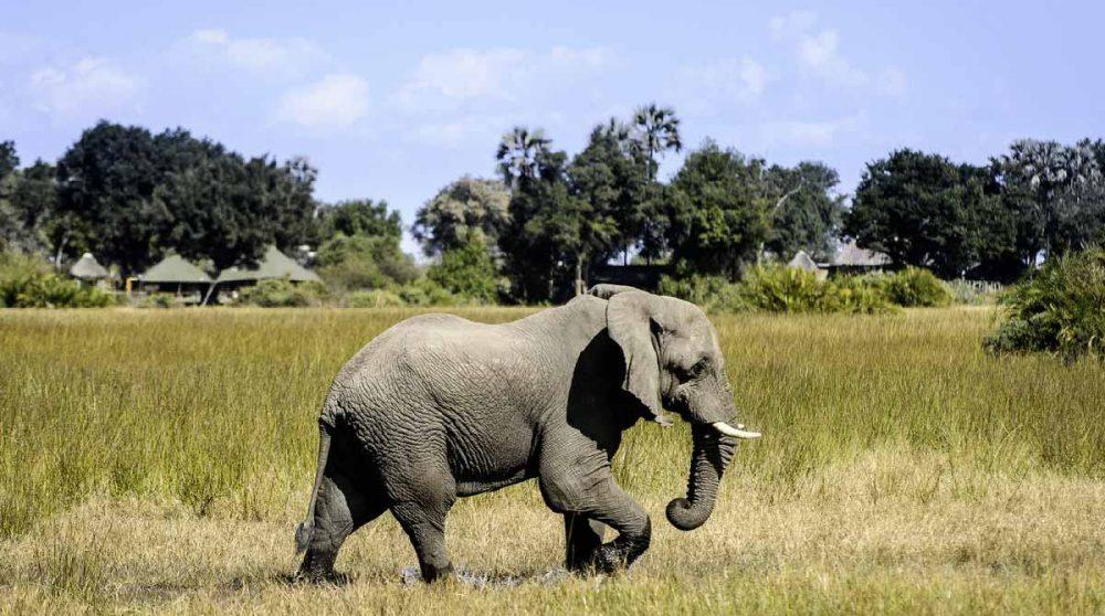 Un éléphant près du camp dans le Delta de l'Okavango