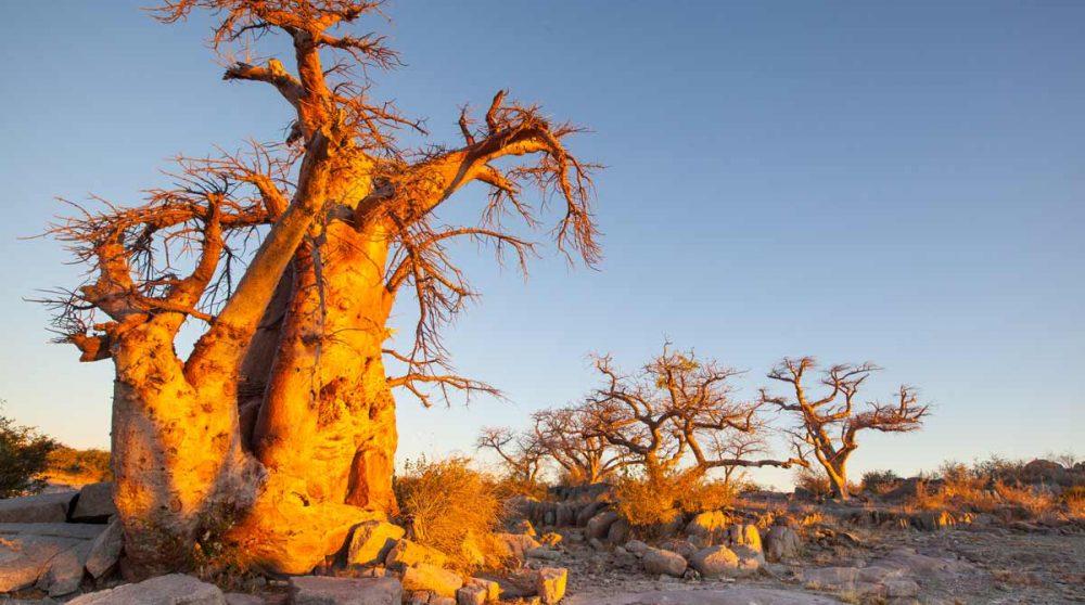 Un ancien baobab à Makgadikgadi