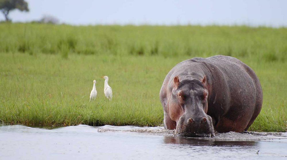 Un hippopotame à Chobe