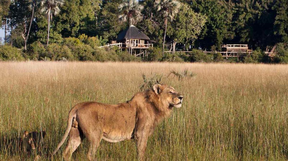 Un lion dans le Delta