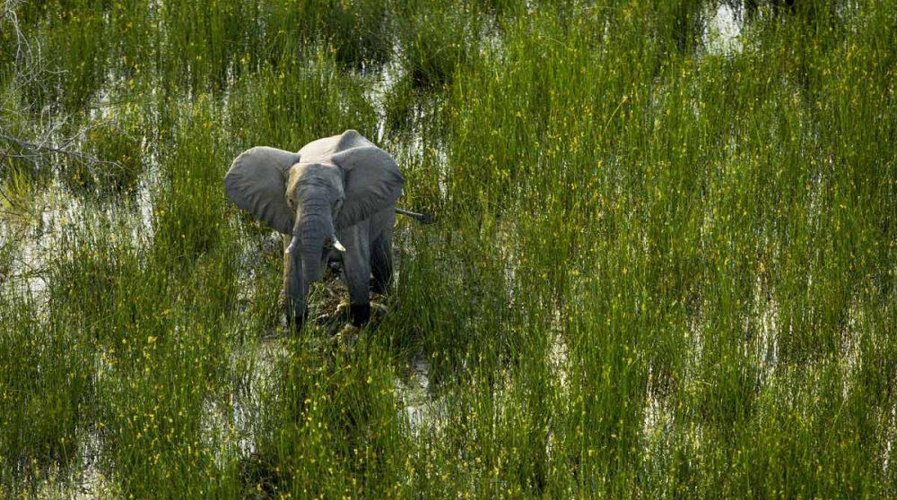 Elephants dans les eaux de l'Okavango