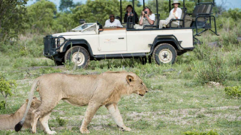 En safari face à deux lionnes au Botswana