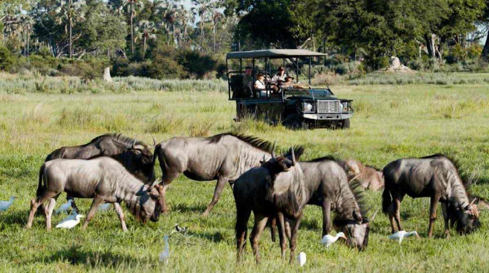 En safari face aux gnous au Botswana