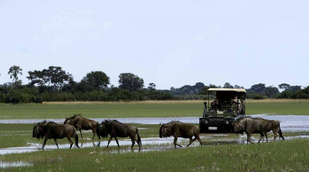 En safari face à des gnous au Botswana