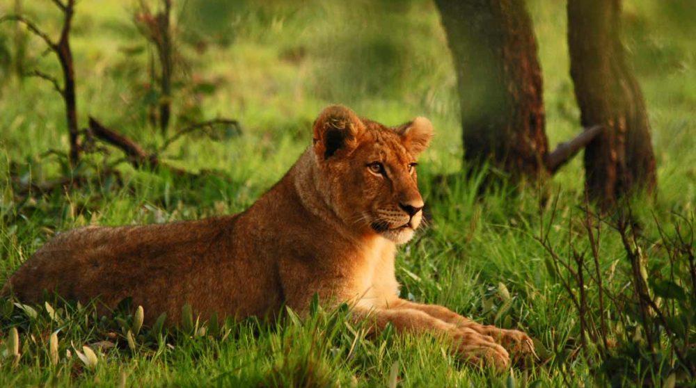 Lionne dans une réserve du plateau du Waterberg