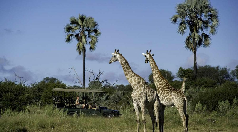 Les majestueuses girafes