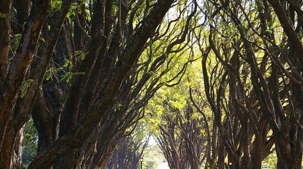 L'allée de jacarandas qui mène au Highgrove House
