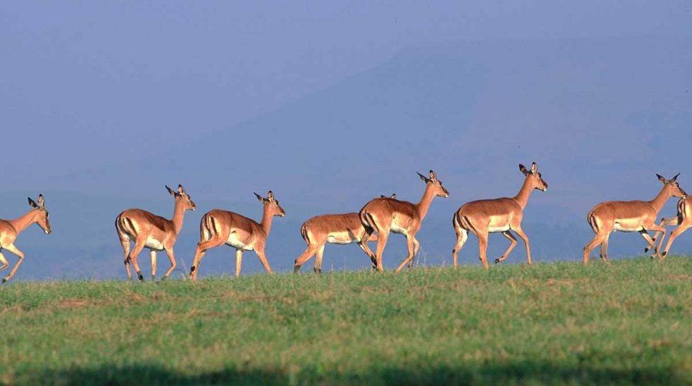 De gracieux impalas dans la Kwazulu Natal