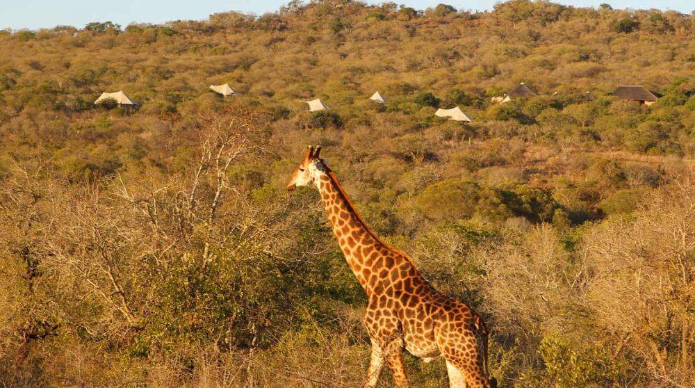 Une girafe près du Thanda Tented Camp