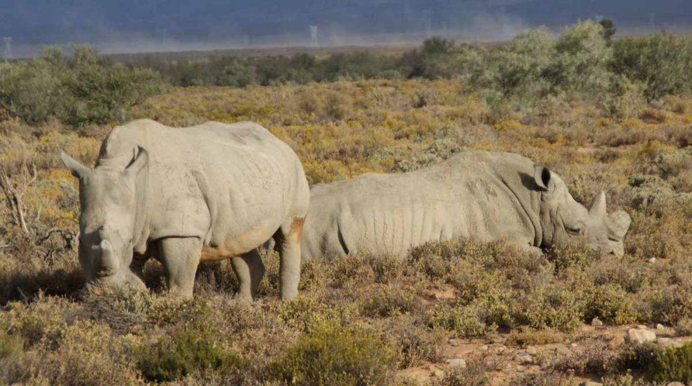 Dont les rhinocéros dans le Cederberg