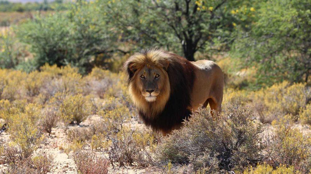 Et les lions à crinière noire du Kalahari