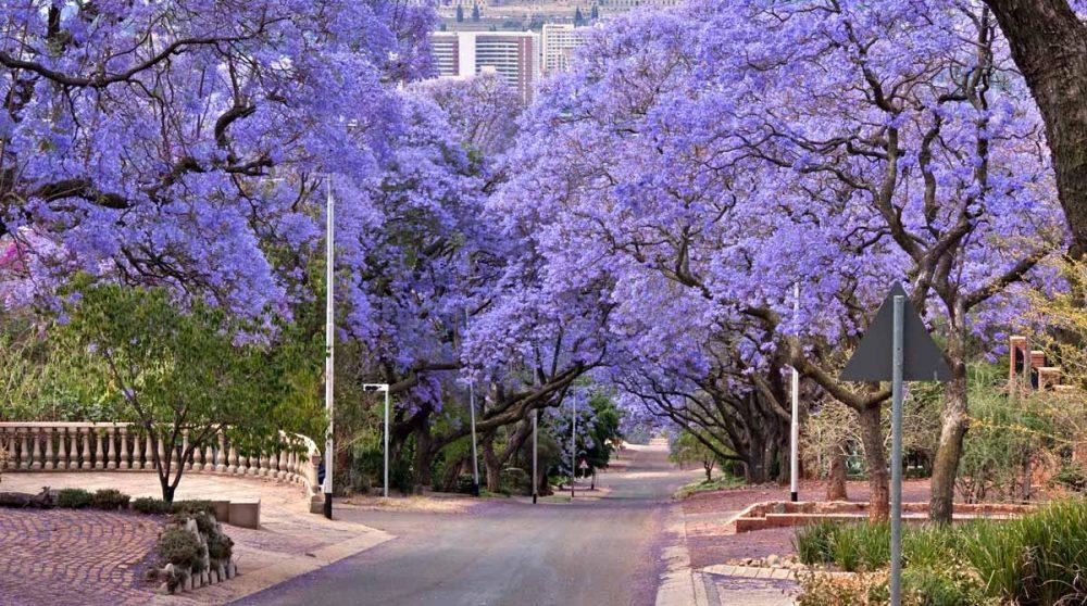 Les jacarandas typiques du Gauteng