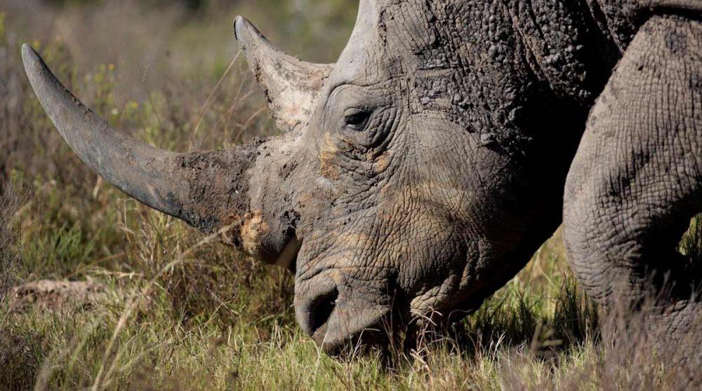 Un rhinocéros blanc mal dans une réserve privée du parc Kruger