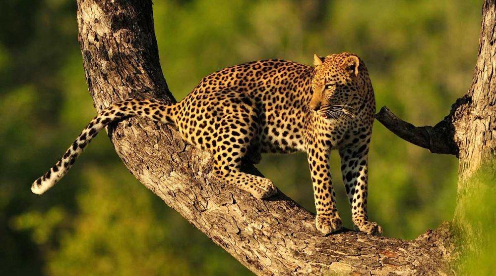 Un léopard dans une réserve privée près du parc Kruger