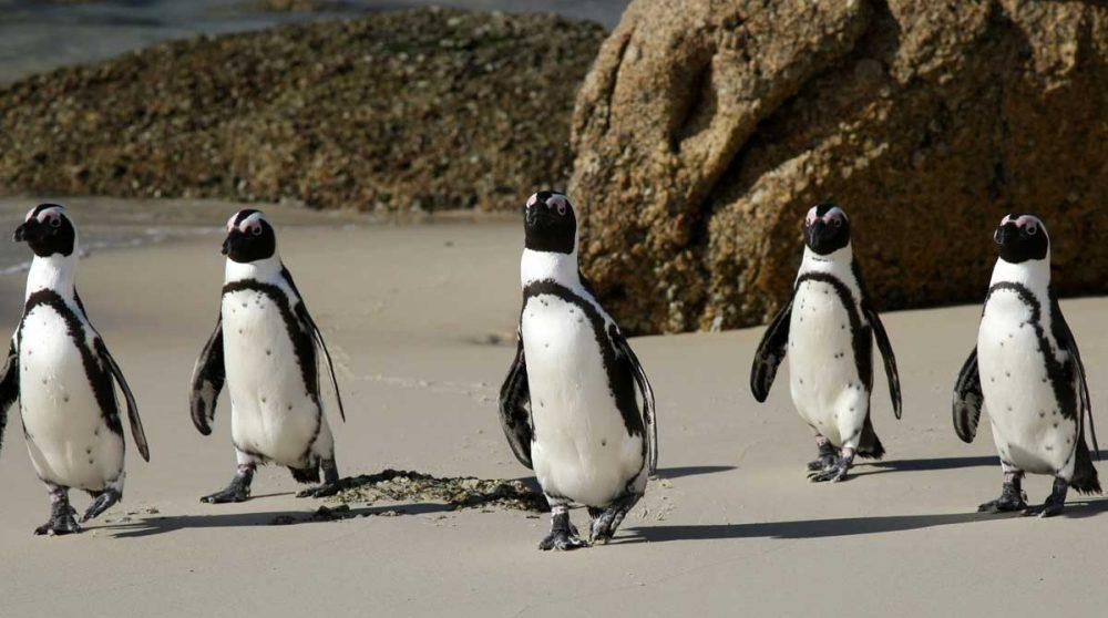 Les manchots du Cap en Afrique du Sud