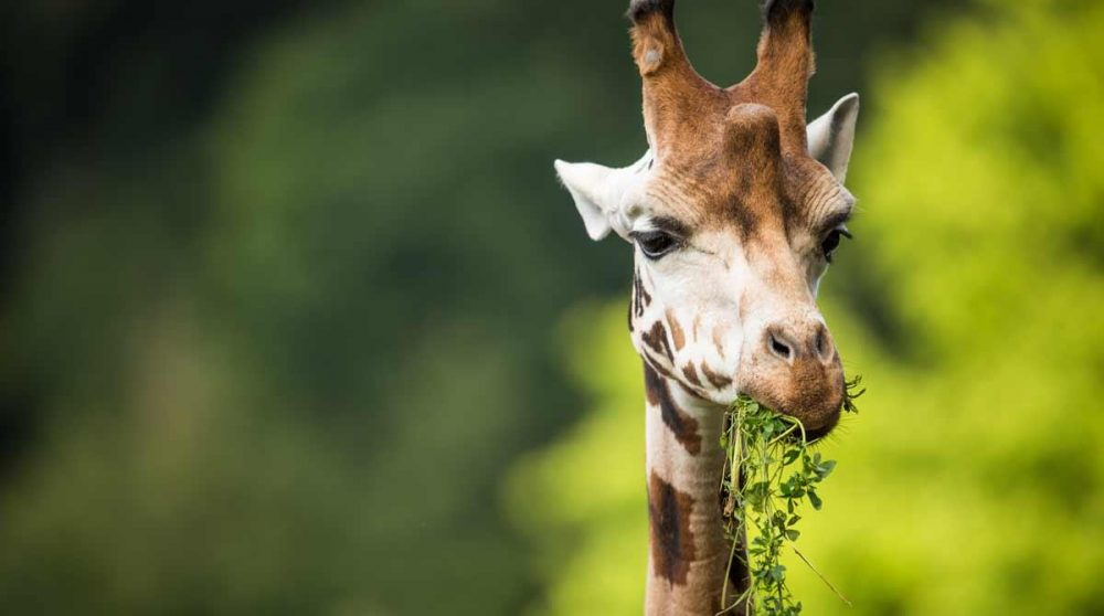 Le repas d'une girafe dans le parc Kruger