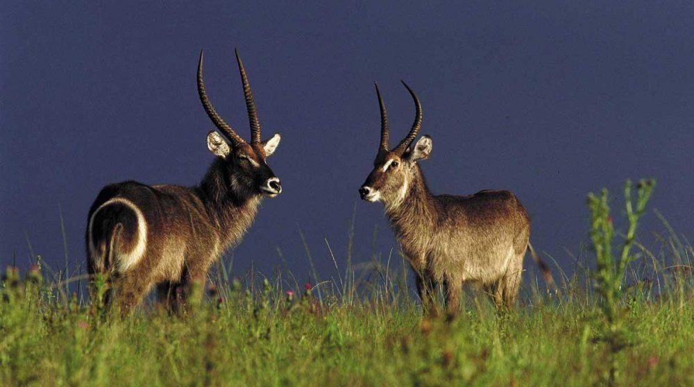 Antilopes lors d'un safari dans le Kwazulu Natal