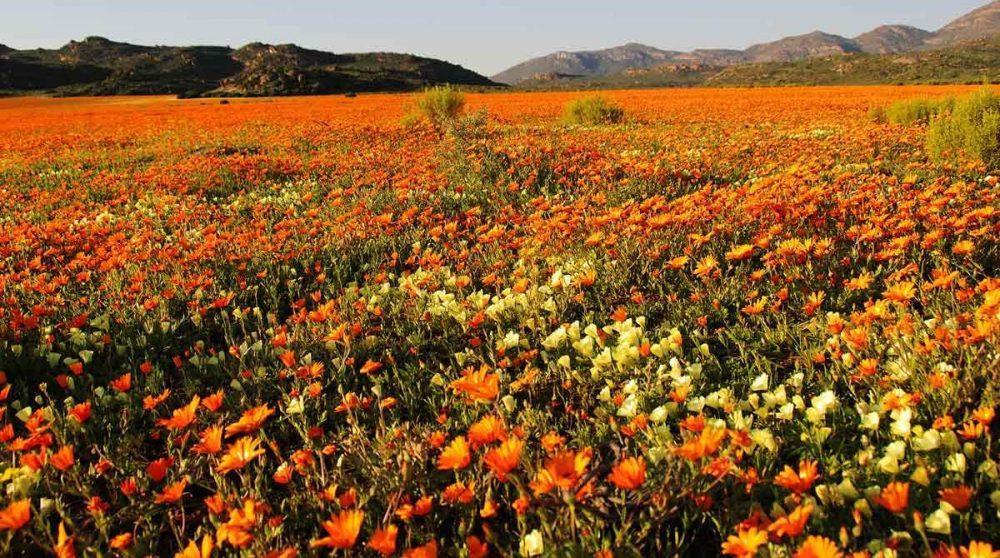 Les fleurs du Namaqualand
