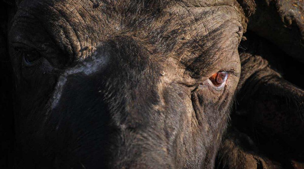 Rencontre avec un buffle dans une réserve du parc Kruger