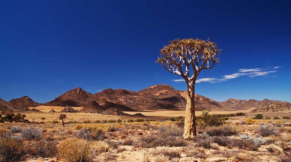 Kokerboom dans le Kalahari