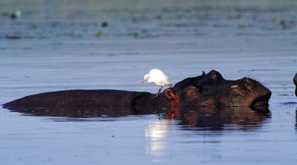 Un hippopotame dans un des lacs du Kwazulu Natal