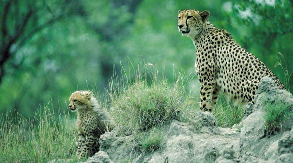 Une femelle guépard et son petit