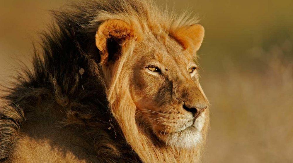 Lion à crinière noire dans le Kalahari