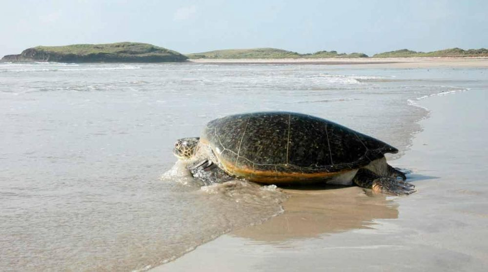 Une tortue sur la plage du Kiwayu Safari Village