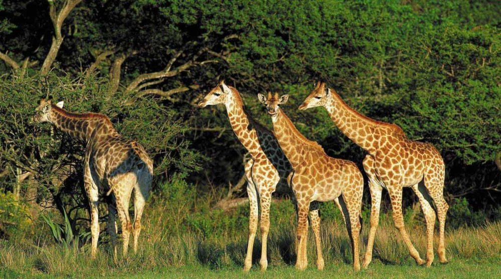 Des girafes dans une réserve du Kwazulu Natal