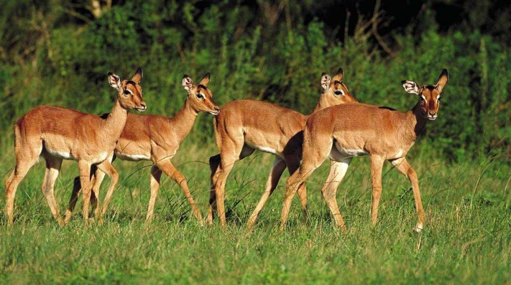 Impalas dans une réserve du Kwazulu Natal