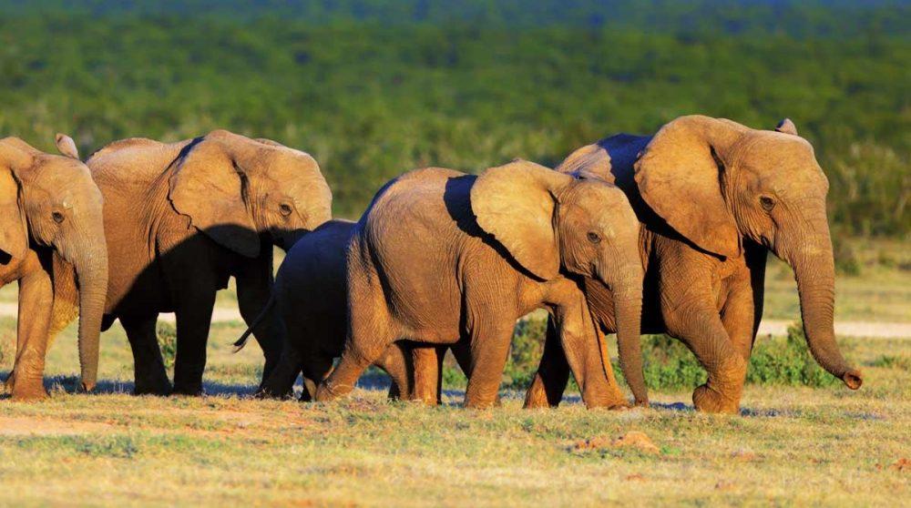 Eléphants ors d'un safari près de Port Elizabeth