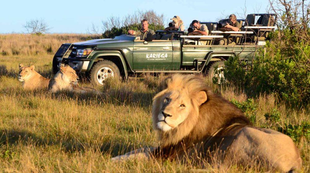 Rencontre avec les lions lors d'un safari