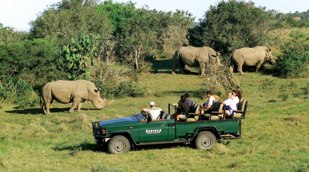Des rhinocéros broutent paisiblement
