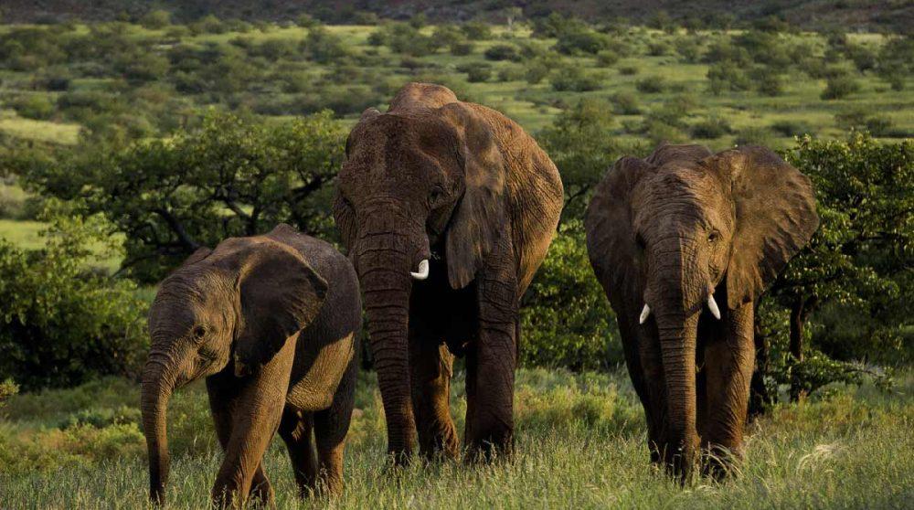Des éléphants en liberté près du camp