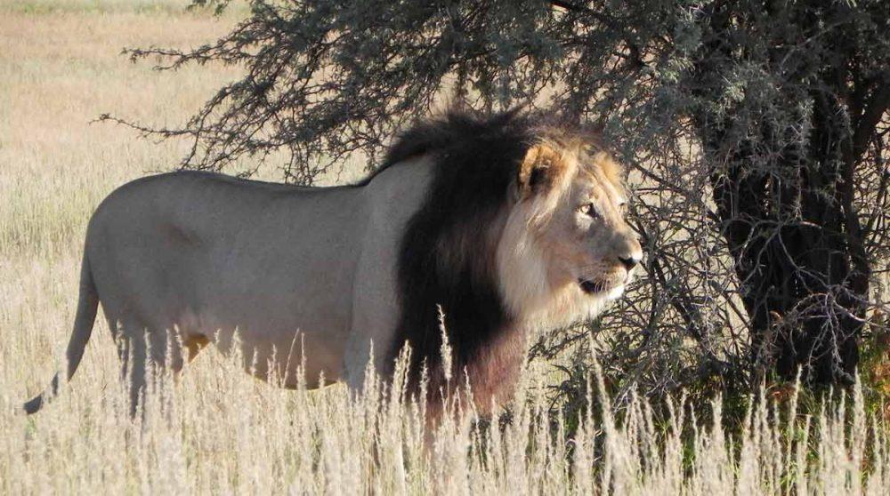 Un lion à crinière noire, typique du Kalahari