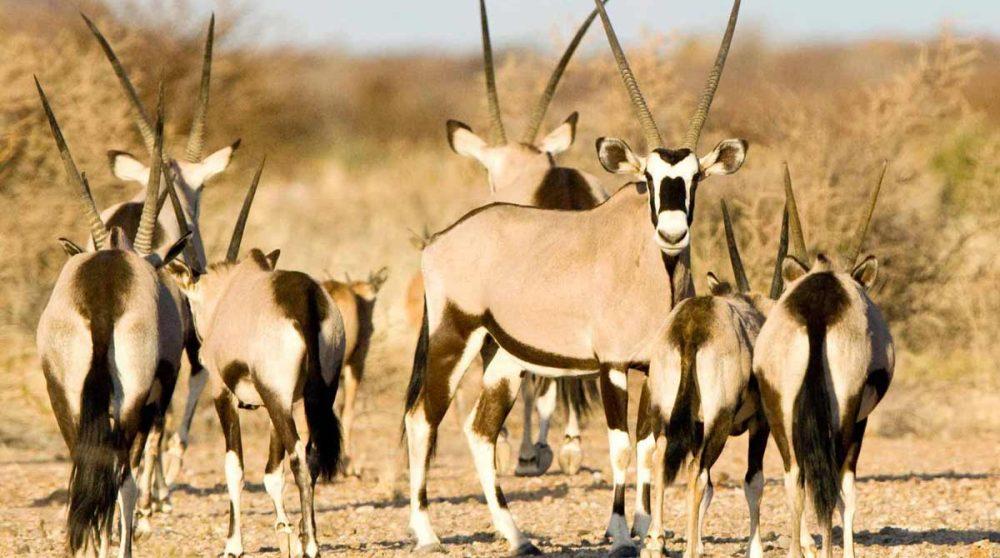 Des oryx en Afrique du Sud
