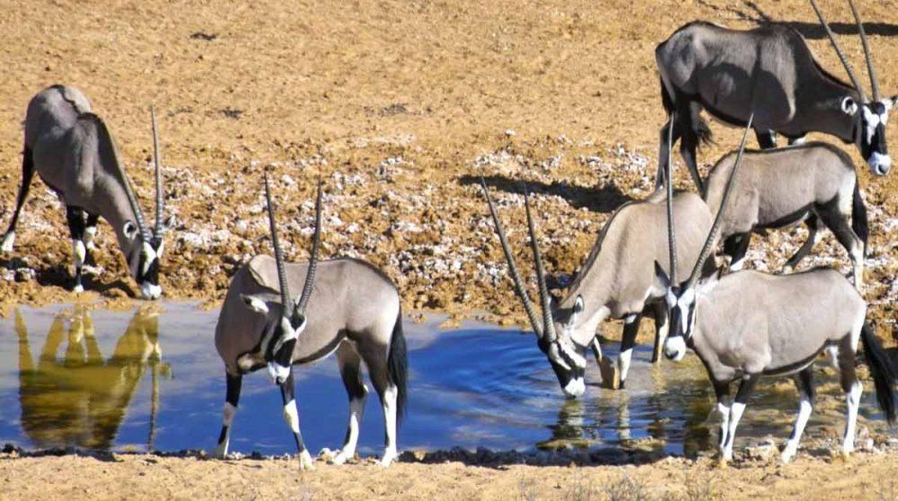 Des oryx au point d'eau devant le lodge en Afrique du Sud