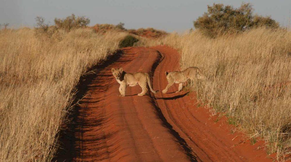 Lionceaux sur la piste