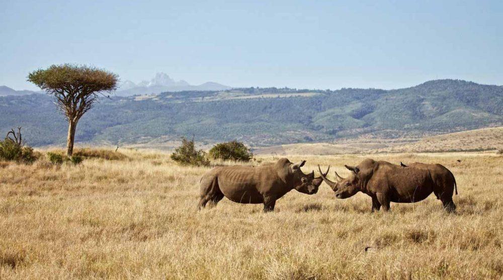 Les rhinocéros à Lewa Safari Camp