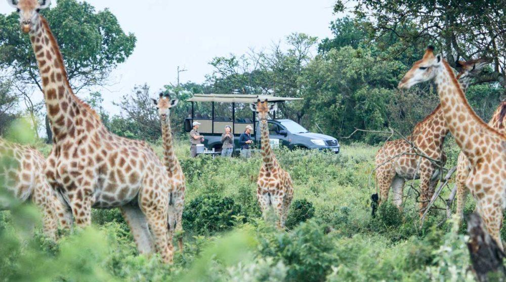 Rencontre avec des girafes du parc iSimangaliso