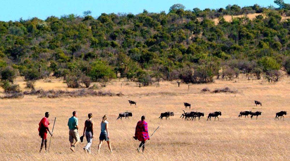 Les gnous face aux marcheurs au Mara Porini Camp