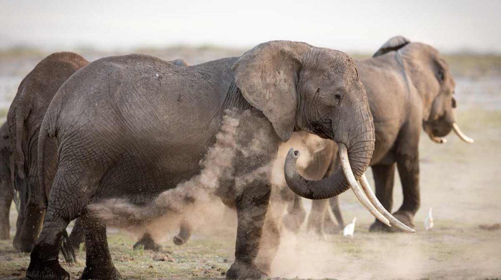 Amboseli et ses éléphants