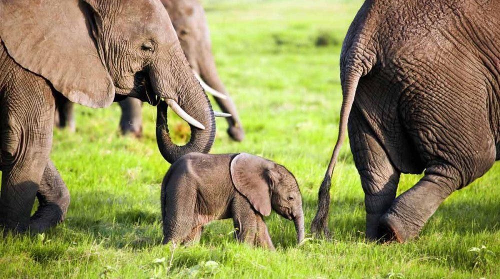 Les éléphants d'Amboseli au Kenya