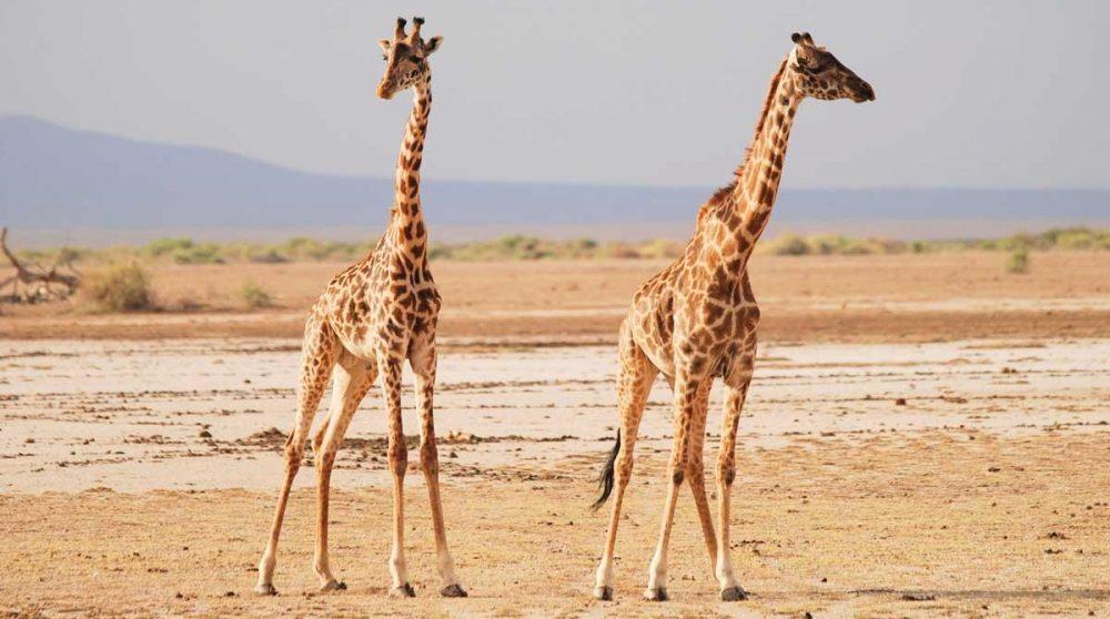 Des girafes sur la concession Tortilis à Amboseli