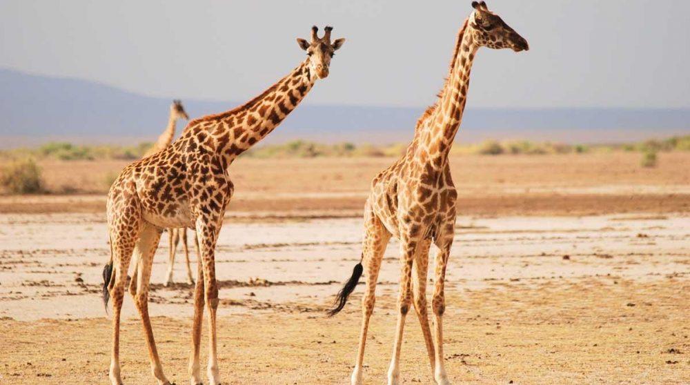 Des girafes sur la cocession Tortilis d'Amboseli