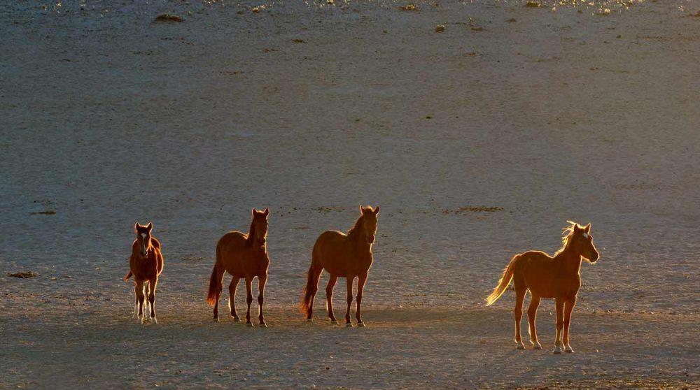 Les chevaux sauvages du Damaraland en Namibie