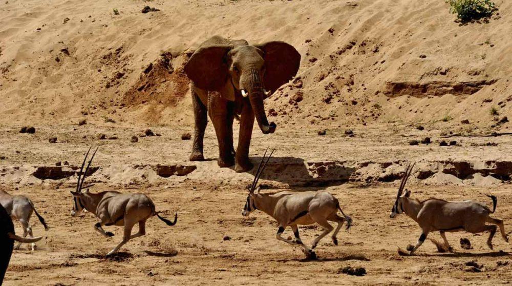 Un éléphant avec impalas