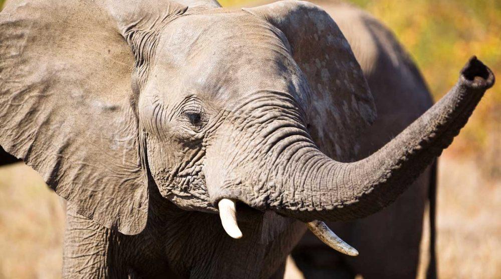 Un éléphant dans le Kruger