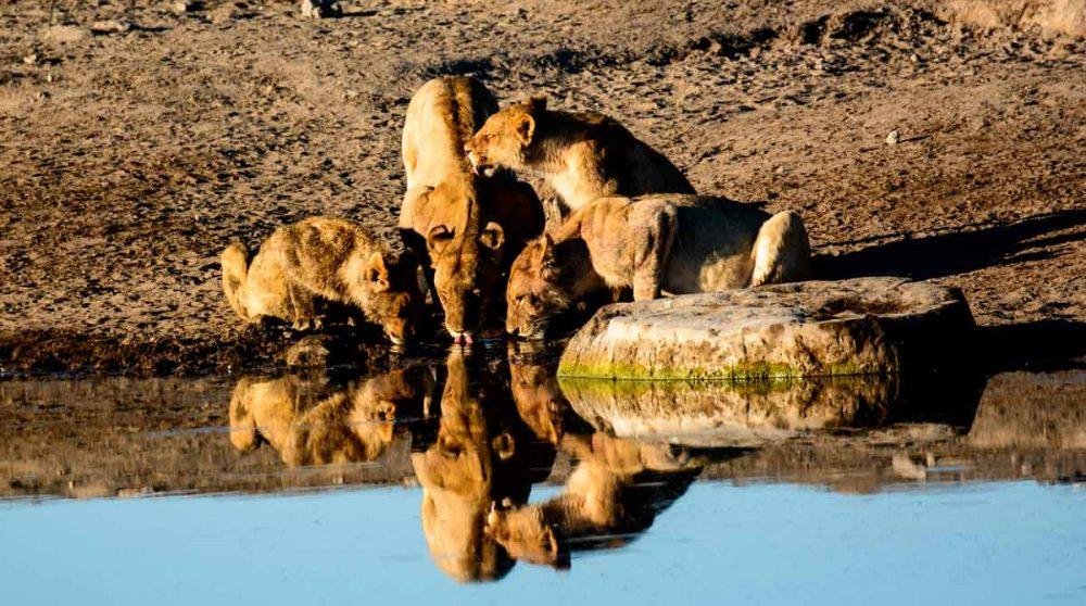 Des lions à Etosha